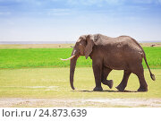 Купить «Adult male elephant walking at Kenyan savannah», фото № 24873639, снято 16 августа 2015 г. (c) Сергей Новиков / Фотобанк Лори