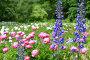 Цветы дельфиниум и пионы, фото № 24874247, снято 16 июня 2015 г. (c) Мурина Ольга / Фотобанк Лори