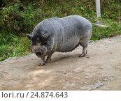 Вьетнамская вислобрюхая свинья свободно прогуливается по деревенской улице. Стоковое фото, фотограф Игорь Кириленко / Фотобанк Лори