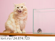 Купить «Кошка облизывается, рядом в аквариуме сидит хомячок и ест сыр», фото № 24874723, снято 15 января 2017 г. (c) Иванов Алексей / Фотобанк Лори