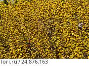 Berberis thunbergii Aurea. Стоковое фото, фотограф Евгений Суворов / Фотобанк Лори