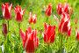 Цветы  красные тюльпаны  в саду весной, фото № 24882631, снято 17 мая 2015 г. (c) Мурина Ольга / Фотобанк Лори