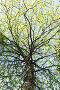 Береза с распустившимися весенними листьями. Вид снизу, фото № 24884095, снято 21 мая 2016 г. (c) Евгений Ткачёв / Фотобанк Лори