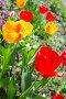 Tulip flowers in spring garden, фото № 24895115, снято 14 мая 2016 г. (c) Евгений Сергеев / Фотобанк Лори