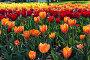 Красивое поле тюльпанов в весеннее время, фото № 24897979, снято 12 мая 2014 г. (c) Валерия Потапова / Фотобанк Лори
