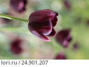 Чёрные тюльпаны. Стоковое фото, фотограф Ирина Садовская / Фотобанк Лори