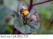 Бутон, ещё нераспустившийся цветок. Стоковое фото, фотограф Пушкина Ольга / Фотобанк Лори