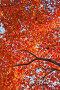 Много красных и оранжевых осенних кленовых листьев на фоне голубого неба, фото № 24908519, снято 11 ноября 2016 г. (c) Ольга Липунова / Фотобанк Лори