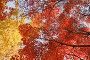 Осенние кроны деревьев с красными и желтыми листьями на фоне голубого неба, фото № 24908547, снято 11 ноября 2016 г. (c) Ольга Липунова / Фотобанк Лори