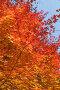 Яркая оранжевая листва дальневосточного клена осенью, фото № 24908567, снято 11 ноября 2016 г. (c) Ольга Липунова / Фотобанк Лори