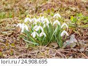 Купить «Белые подснежники», фото № 24908695, снято 9 апреля 2016 г. (c) Дмитрий Тищенко / Фотобанк Лори