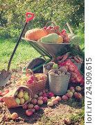 Купить «crop of vegetables in the garden», фото № 24909615, снято 12 сентября 2012 г. (c) Яков Филимонов / Фотобанк Лори