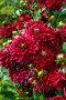 Красные георгины в саду (лат. Dаhlia), фото № 24910067, снято 9 августа 2015 г. (c) Ольга Сейфутдинова / Фотобанк Лори