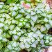 Яснотка пятнистая (лат. Lamium maculatum), декоративный сорт 'White Nancy'. Растение на клумбе садового участка, фото № 24919303, снято 22 сентября 2013 г. (c) Евгений Мухортов / Фотобанк Лори