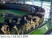 Купить «milking cows at dairy farm rotary parlour system», фото № 24921899, снято 12 августа 2016 г. (c) Syda Productions / Фотобанк Лори