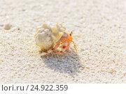 Small Crab on the Beach. Стоковое фото, фотограф Александр Бекишев / Фотобанк Лори