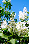 Сирень белая с листьями, фото № 24924295, снято 1 июня 2015 г. (c) Резеда Костылева / Фотобанк Лори