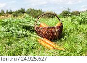 Купить «Деревянная плетеная корзина со свежей морковью на зеленой траве», фото № 24925627, снято 20 февраля 2019 г. (c) FotograFF / Фотобанк Лори