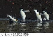 Купить «Chinstarp Penguin in the water», фото № 24926959, снято 18 ноября 2016 г. (c) Vladimir / Фотобанк Лори