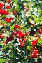 Cherries hanging on a cherry tree branch, фото № 24930855, снято 12 августа 2013 г. (c) Валерия Потапова / Фотобанк Лори