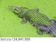 Crocodile in green slime. Стоковое фото, фотограф Михаил Коханчиков / Фотобанк Лори