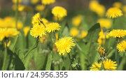 Купить «Man picking bouquet of yellow dandelions close-up», видеоролик № 24956355, снято 19 декабря 2016 г. (c) worker / Фотобанк Лори