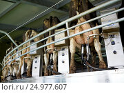 Купить «cows and milking machine at rotary parlour on farm», фото № 24977607, снято 12 августа 2016 г. (c) Syda Productions / Фотобанк Лори