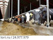 Купить «herd of cows in cowshed on dairy farm», фото № 24977979, снято 12 августа 2016 г. (c) Syda Productions / Фотобанк Лори