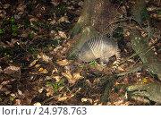 Девятипоясный броненосец (лат. Dasypus novemcinctus) роется около корней дерева в поисках корма. Флорида, ночные съемки (2016 год). Стоковое фото, фотограф Ирина Кожемякина / Фотобанк Лори