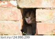 Купить «Маленький милый котенок испуганно выглядывает из дыры в кирпичном доме», фото № 24990299, снято 8 мая 2016 г. (c) Бачкова Наталья / Фотобанк Лори