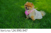 Pomeranian Spitz Girl Sit on Grass. Стоковое видео, видеограф Станислав Панкратов / Фотобанк Лори