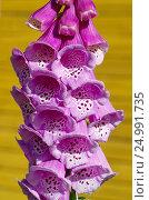 Купить «Соцветие Наперстянки пурпурной (лат. Digitalis purpurea) крупным планом», фото № 24991735, снято 29 июня 2016 г. (c) Елена Коромыслова / Фотобанк Лори