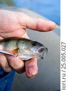 Окунь в руке рыболова. Стоковое фото, фотограф Михаил Аникаев / Фотобанк Лори