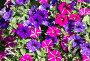 Фон из разноцветных пестрых петуний, фото № 25028035, снято 4 июля 2014 г. (c) Наталья Волкова / Фотобанк Лори