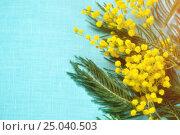 Купить «Мимоза - цветы на голубом фоне», фото № 25040503, снято 10 марта 2016 г. (c) Зезелина Марина / Фотобанк Лори