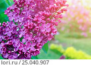 Купить «Blooming lilac flowers, spring floral background», фото № 25040907, снято 23 мая 2016 г. (c) Зезелина Марина / Фотобанк Лори