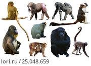 Купить «set of primates», фото № 25048659, снято 23 апреля 2019 г. (c) Яков Филимонов / Фотобанк Лори