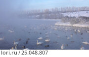 Купить «Лебединое озеро в Алтайском крае / Swans on Altai lake Svetloe in the evaporation mist at evening time in winter», видеоролик № 25048807, снято 25 января 2017 г. (c) Serg Zastavkin / Фотобанк Лори