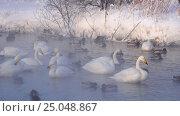 Купить «Лебединое озеро в Алтайском крае / Swans on Altai lake Svetloe in the evaporation mist at evening time in winter», видеоролик № 25048867, снято 25 января 2017 г. (c) Serg Zastavkin / Фотобанк Лори