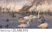 Купить «Лебединое озеро в Алтайском крае / Swans on Altai lake Svetloe in the evaporation mist at evening time in winter», видеоролик № 25048915, снято 25 января 2017 г. (c) Serg Zastavkin / Фотобанк Лори