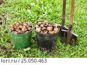 Купить «Freshly dug potatoes in metal bucket and shovel on the field in sunny day», фото № 25050463, снято 22 мая 2019 г. (c) FotograFF / Фотобанк Лори
