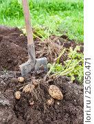 Купить «Freshly dug potatoes and shovel on the farm plantation in sunny day», фото № 25050471, снято 22 мая 2019 г. (c) FotograFF / Фотобанк Лори