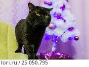 Купить «Black British cat near a white Christmas tree», фото № 25050795, снято 21 января 2019 г. (c) worker / Фотобанк Лори