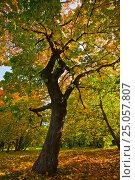 Дерево в Коломенском. Стоковое фото, фотограф Максим Попыкин / Фотобанк Лори