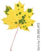 Осенний желтый кленовый лист. Стоковое фото, фотограф Ольга К. / Фотобанк Лори