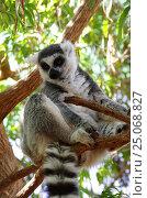 Купить «Ring-tailed lemur», фото № 25068827, снято 17 января 2014 г. (c) Юлия Белоусова / Фотобанк Лори