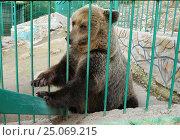Бурый медведь сидит у кормушки, выпрашивает угощение. Геленджик, Сафари-парк, эксклюзивное фото № 25069215, снято 26 сентября 2013 г. (c) Dmitry29 / Фотобанк Лори