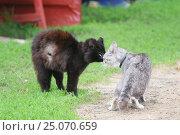Купить «Два кота встали в угрожающие позы и собираются драться весной на траве», фото № 25070659, снято 8 июня 2012 г. (c) Бачкова Наталья / Фотобанк Лори