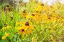 Рудбекия - Rudbeckia asteraceae - в саду, фото № 25074087, снято 13 августа 2016 г. (c) Зезелина Марина / Фотобанк Лори