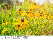 Купить «Рудбекия - Rudbeckia asteraceae - в саду», фото № 25074087, снято 13 августа 2016 г. (c) Зезелина Марина / Фотобанк Лори